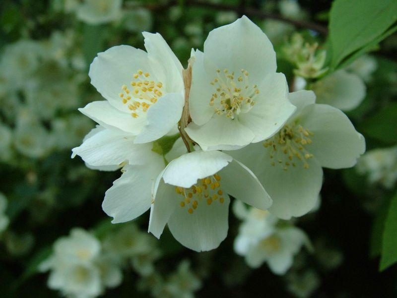 Jasmin-flower
